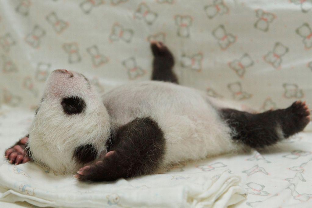panda-2152539